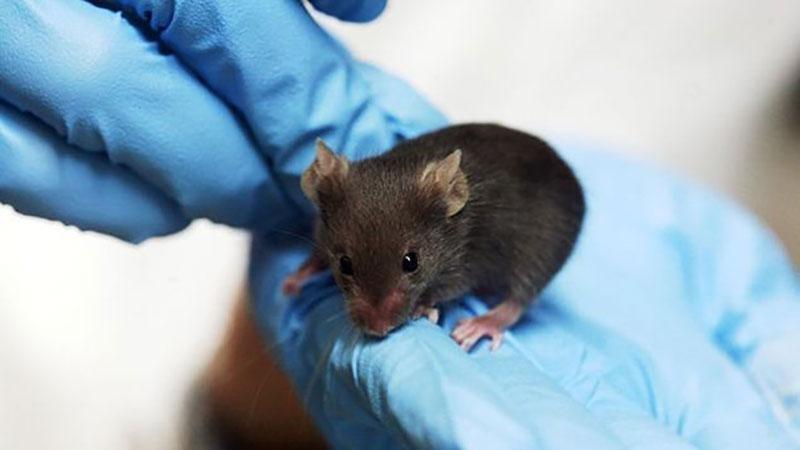 Blue gloved hands hold black mouse